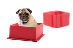Pug Present Stock Photo