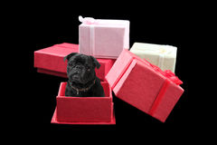 Pug Present Stock Photography