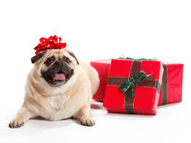 Pug Present Royalty Free Stock Photo
