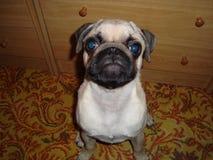 Pug. Primer plano de pug bebe Stock Photos