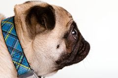 Pug Profile. A Pug dog with a flat face showing his profile Royalty Free Stock Photo
