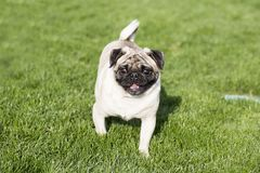 A pug. Pug Pug, native to Chinese, domestic also known as pug, charming elegance and at the end of eighteenth Century was officially named as the `bugs` and its stock image