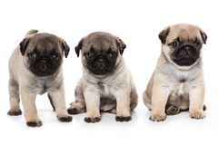 Pug puppies Royalty Free Stock Photos