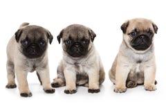 Pug puppies Royalty Free Stock Photos
