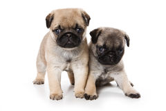 Pug puppies Royalty Free Stock Photography