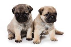 Pug puppies Royalty Free Stock Photo