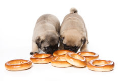 Pug puppies Royalty Free Stock Photo