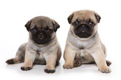Pug puppies Stock Image