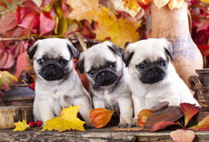 Pug puppies. In the autumn background stock photography