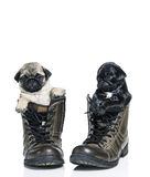 Pug puppies in boots Royalty Free Stock Photos
