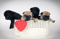 Pug puppies in a box Royalty Free Stock Images