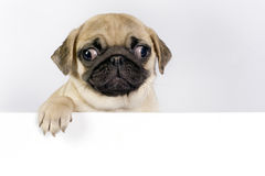Pug puppy. Royalty Free Stock Image