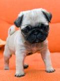 Pug puppy. On orange background Stock Photography