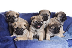 Pug puppy Royalty Free Stock Image