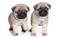 Pug puppy Royalty Free Stock Images