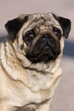 Pug puppy Royalty Free Stock Photos