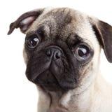 Pug puppy Stock Foto