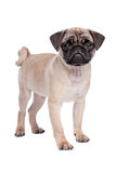 Pug puppy Stock Photo