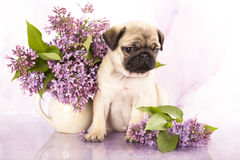 Pug puppy Stock Photos