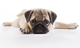 Pug puppy. Lying on a white background Stock Images