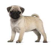 Pug puppy, 3 months old, standing Stock Image