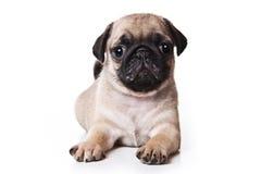Pug puppy Stock Photos