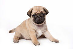 Pug puppy Royalty Free Stock Photo
