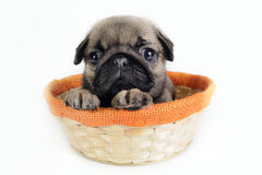 Pug puppy in basket. Royalty Free Stock Photos