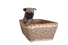 The pug puppy in a basket Royalty Free Stock Images