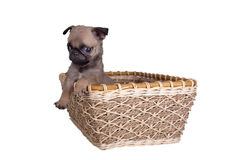The pug puppy in a basket Stock Photography