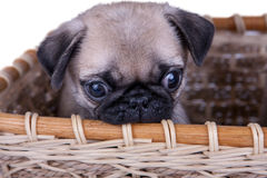 The pug puppy in a basket Royalty Free Stock Photos
