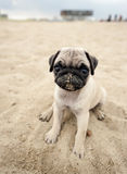 Pug Puppy on beach stock photography