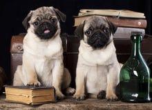 Pug puppy Stock Image