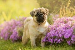 Pug puppy in bloemen Stock Afbeelding