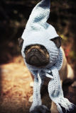 Pug puppy with a blue scarf and gnome hat Royalty Free Stock Images