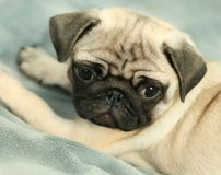Pug puppy on brightly background Royalty Free Stock Photo