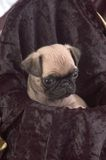 Pug Puppy Close Up Stock Photos