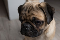 The pug puppy closeup Stock Image