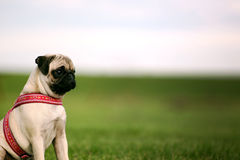 Pug Puppy and copy Space Stock Photo