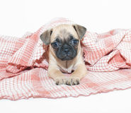 Pug Puppy. Cute little Pug puppy laying under a blanket on a white background Stock Photos