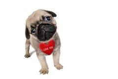 Pug puppy Stock Photo