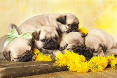 Pug puppy and dandelions Royalty Free Stock Images