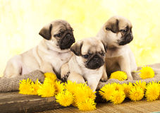 Pug puppy and dandelions Stock Photography