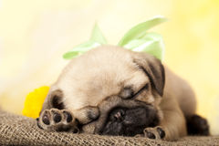 Pug puppy and dandelions Royalty Free Stock Photography