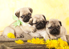 Pug puppy and dandelions stock photo