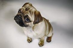 Pug puppy in de studio Royalty-vrije Stock Afbeeldingen