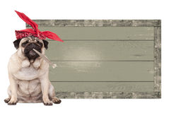 Pug puppy dog being high on smoking marijuana weed joint, next to blank vintage wooden sign isolated on white background. Cute pug puppy dog being high on Royalty Free Stock Image