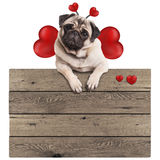 Pug puppy dog hanging with paws on blank wooden vintage promotional sign with red hearts, isolated on white background Royalty Free Stock Photo