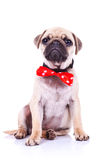 Pug puppy dog with red bowtie. Cute pug puppy dog with red bowtie sitting and looking into the camera Royalty Free Stock Photo