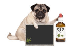 Pug puppy dog sitting down with bottle of CBD oil and blackboard sign, isolated on white background. Lovely cute pug puppy dog sitting down with bottle of CBD royalty free stock photography